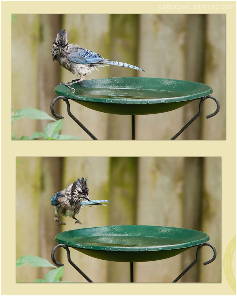 blue jay getting ready to take a bath