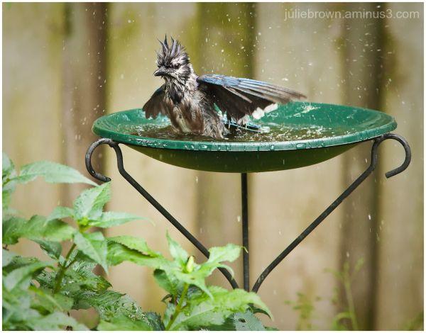 blue jay lord of the bird bath