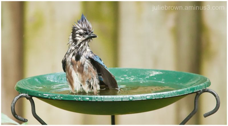 blue jay lord of the bird bath2