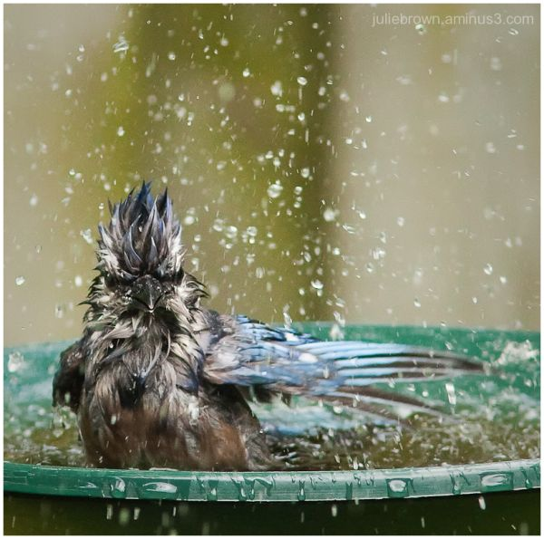 blue jay lord of the bird bath3