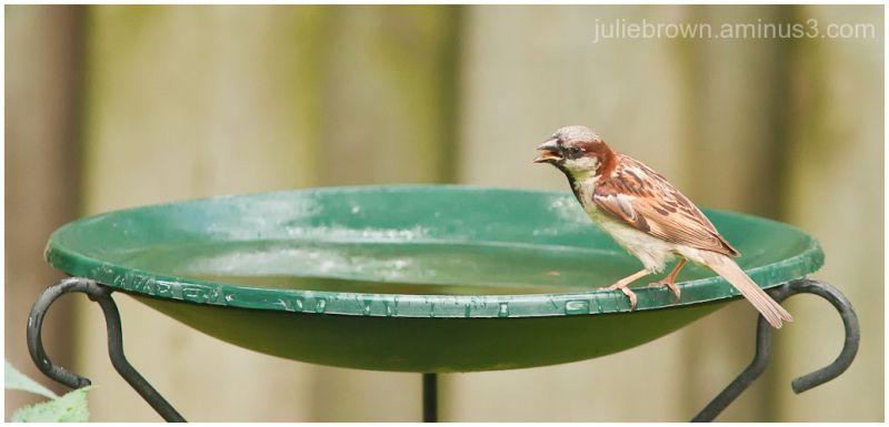house sparrow at bird bath