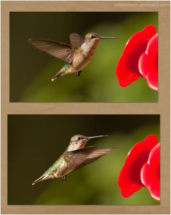 ruby-throated hummingbird at backyard feeder