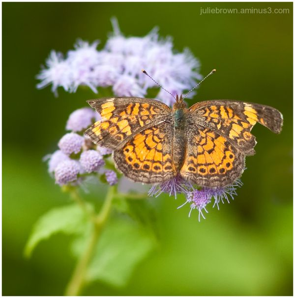 pearl crescent dorsal view backyard butterfly
