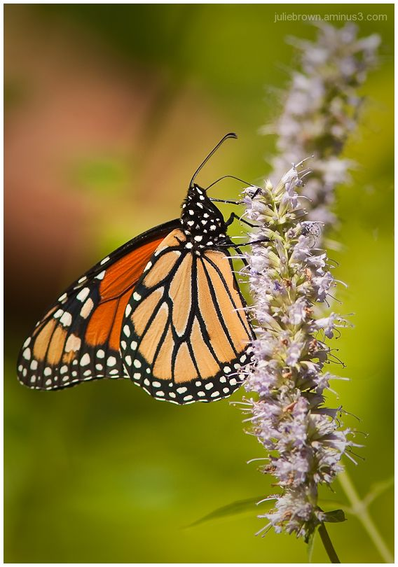 monarch on hyssop flower