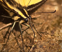 Eastern Tiger Swallowtail Puddling 1/2