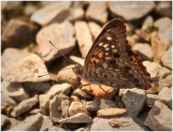 hackberry emperor on gravel