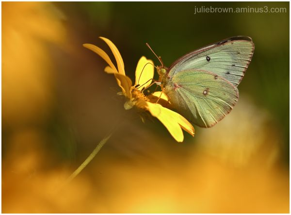 clouded sulphur color wash