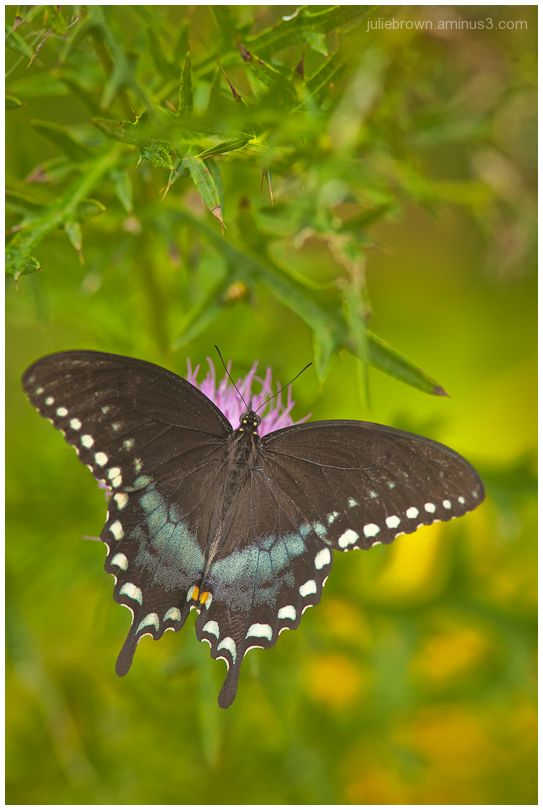 male spicebush swallowtail on thistle