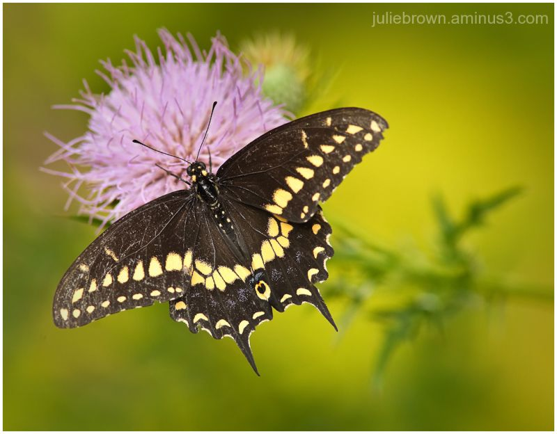 black swallowtail on thistle flower