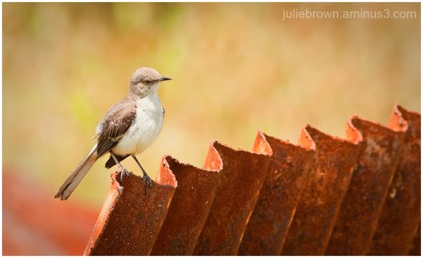northern mockingbird on rusted sheet metal