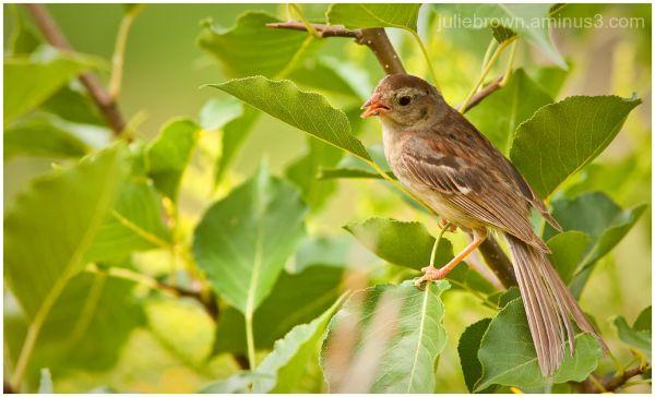 Field Sparrow (Spizella pusilla) 3/5