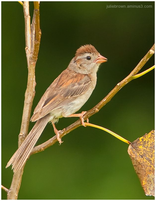 field sparrow with raised crest