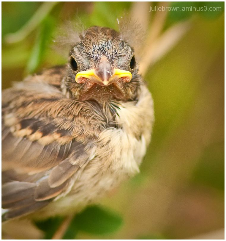 field sparrow fledgling chick