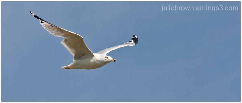 ring-billed gull in flight at eagle creek park