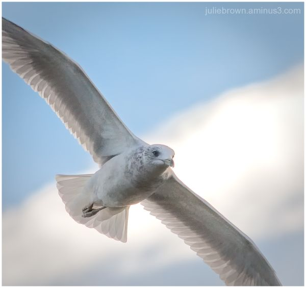 ring-billed gull in flight full frame