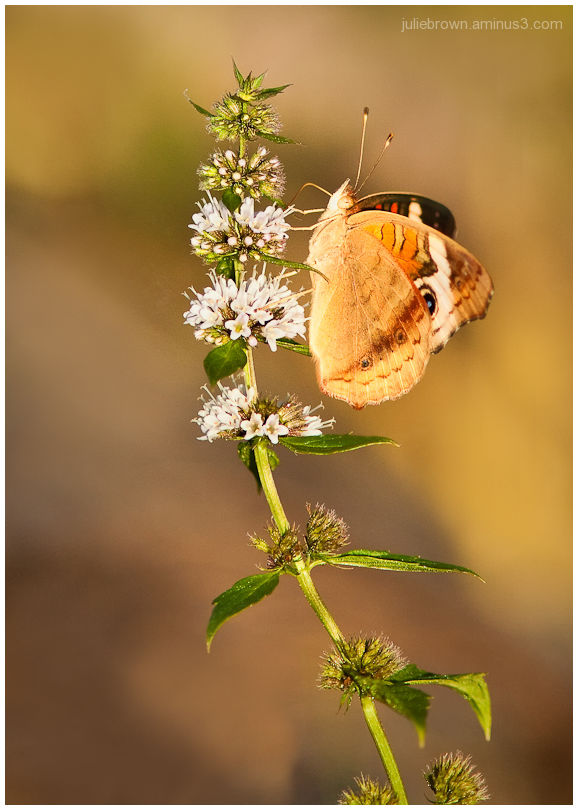 common buckeye in late summer light