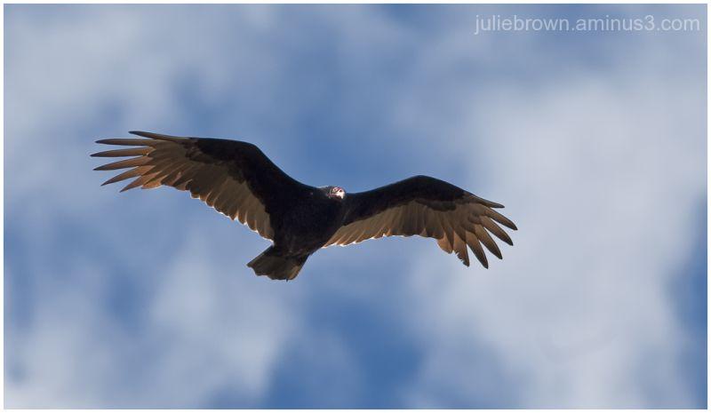 turkey vulture in flight at ft harrison state park