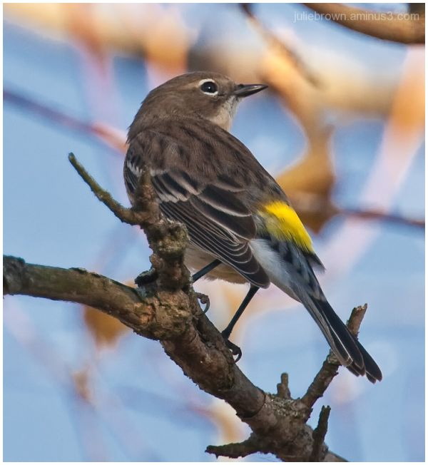 yellow-rumped warbler at eagle creek park