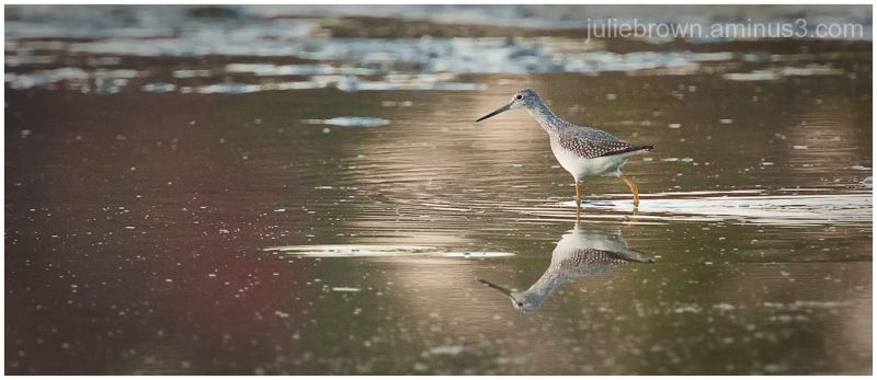greater yellowlegs at eagle creek park indianapoli