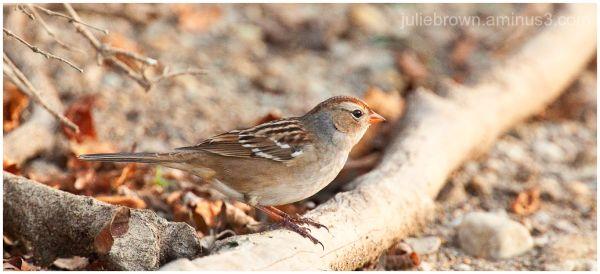 juvenile white-crowned sparrow at eagle creek park