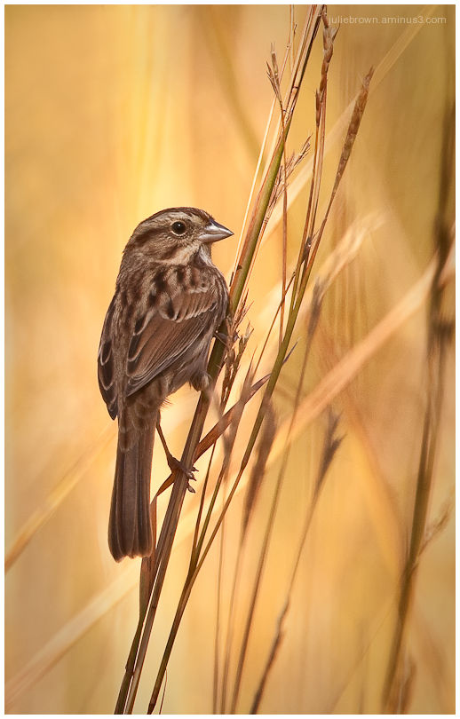 song sparrow in autumn light