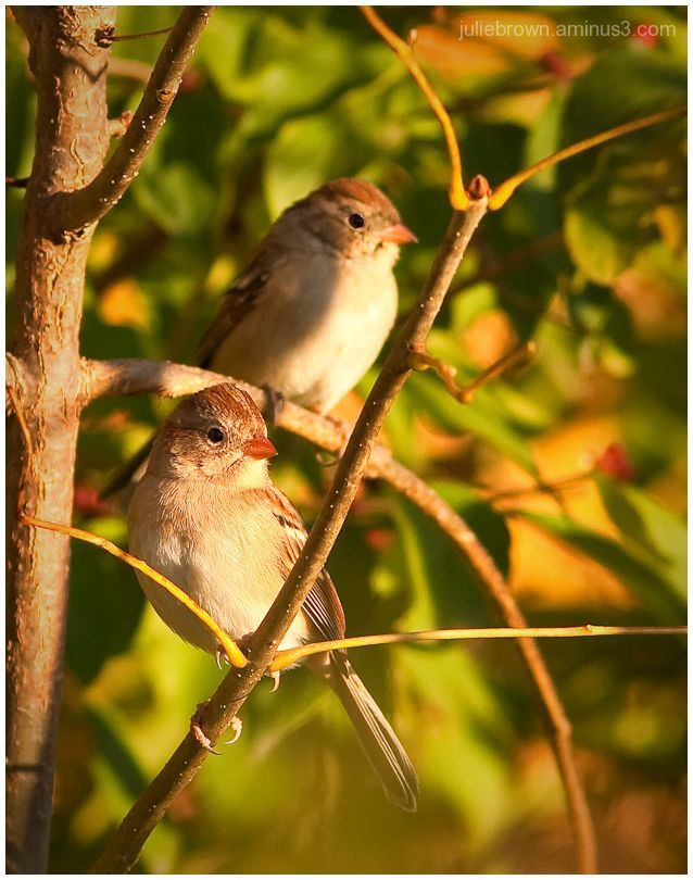 field sparrow pair in evening light