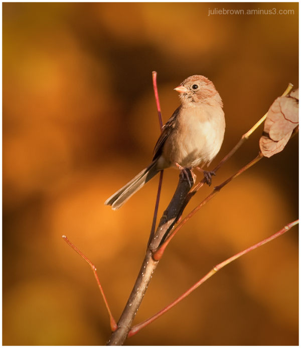 field sparrow pair in orange evening light