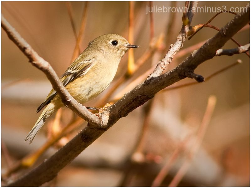ruby crowned kinglet in thicket fort harrison