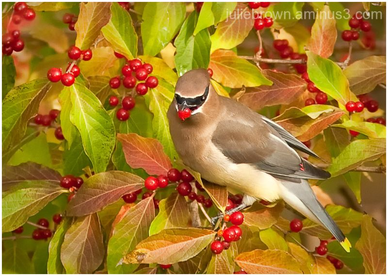 cedar waxwing in the berries at fort harrison