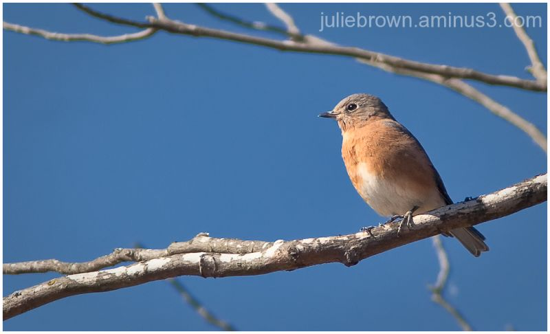female eastern bluebird at Lake Monroe Indiana