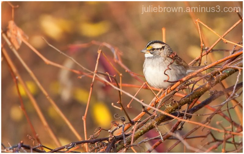 white-throated sparrow at fort harrison state park
