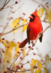 Northern Cardinal (male) in the berries