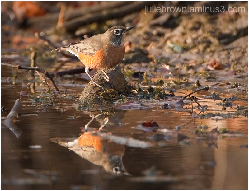 american robin at pond with reflection