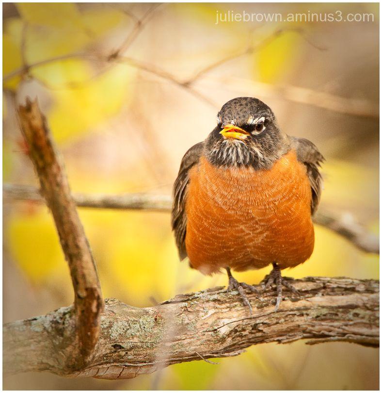 american robin open beak fort harrison state park