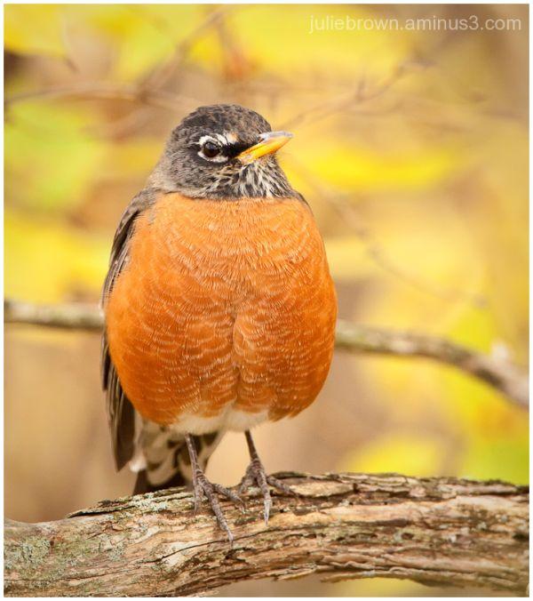 american robin  fort harrison state park