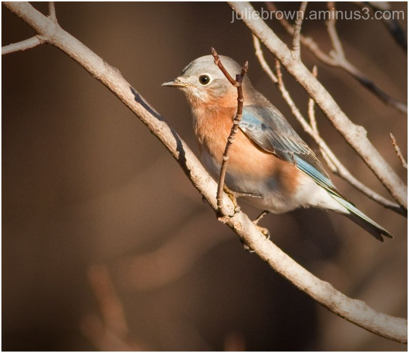female bluebird in late afternoon light 2