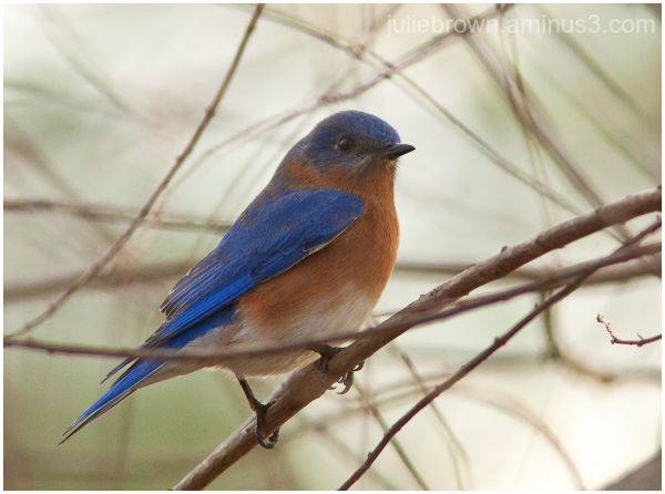 male bluebird in tree sandestin florida