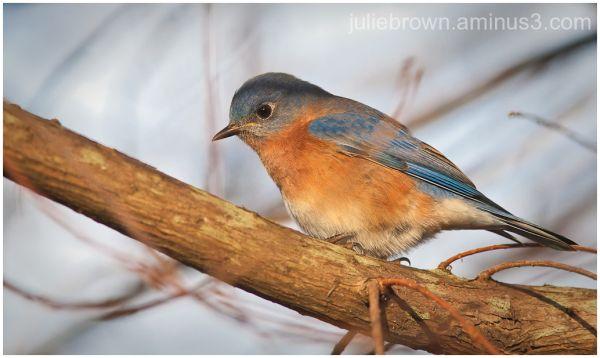 male bluebird in tree sandestin florida