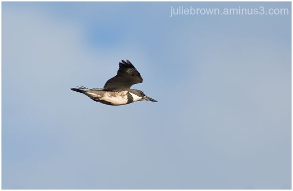 male belted kingfisher in flight over pond