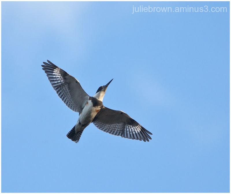 female belted kingfisher in flight over pond in FL