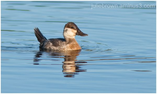 ruddy duck destin florida