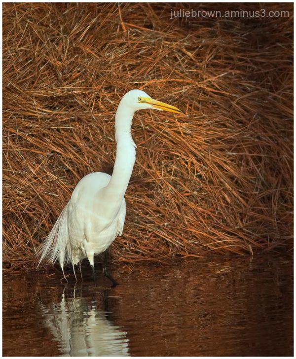 great egret against red mulch destin florida