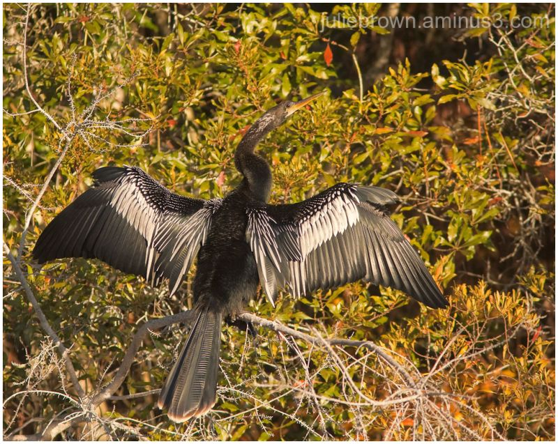 anhinga wing spread destin florida