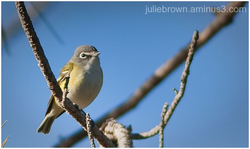 blue-headed vireo in tree at topsail state park