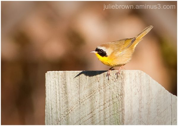 male common yellowthroat on fence post topsail SP