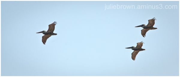 brown pelicans fly over grayton beach state park