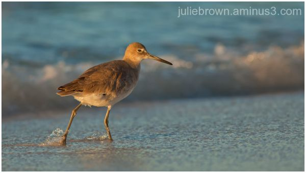 willet on beach in morning light florida