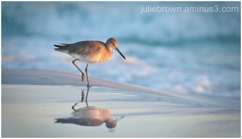willet on beach with reflection in afternoon light