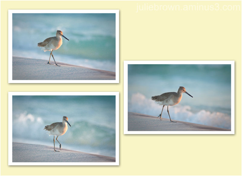 willet walking on beach in afternoon light