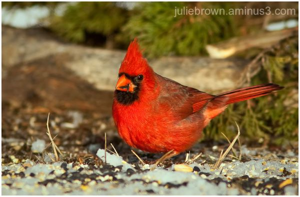 northern cardinal with see eagle creek park
